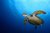 Sea turtle | Schildkröte