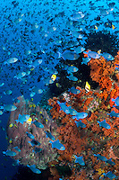 Invasion of the Triggerfish<br /> <br /> Thousands of Red-toothed Triggerfish school tightly over a colorful reef, presumably aggregating to spawn.<br /> <br /> Image 1/4<br /> <br /> Shot in Indonesia