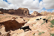 A small herd of goats roam the desert in Petra, Jordan.