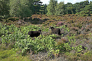 Hebridean sheep used for conservation grazing, Suffolk Sandlings heathland, Shottisham, Suffolk, England
