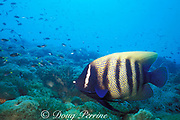 six-banded angelfish or sixbar angelfish, <br /> Pomacanthus sexstriatus, by Yongala Wreck, <br /> off Townsville,<br /> Quensland, Australia ( Western Pacific Ocean )