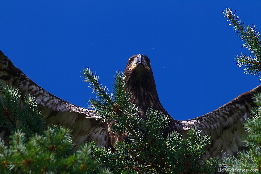 A bald eagle fledgling (Haliaeetus leucocephalus) lands at the top of a tree after taking one of its first flights. These first flights were each about 100 feet (33 meters) or less and consisted primarily of flying to neighboring trees.