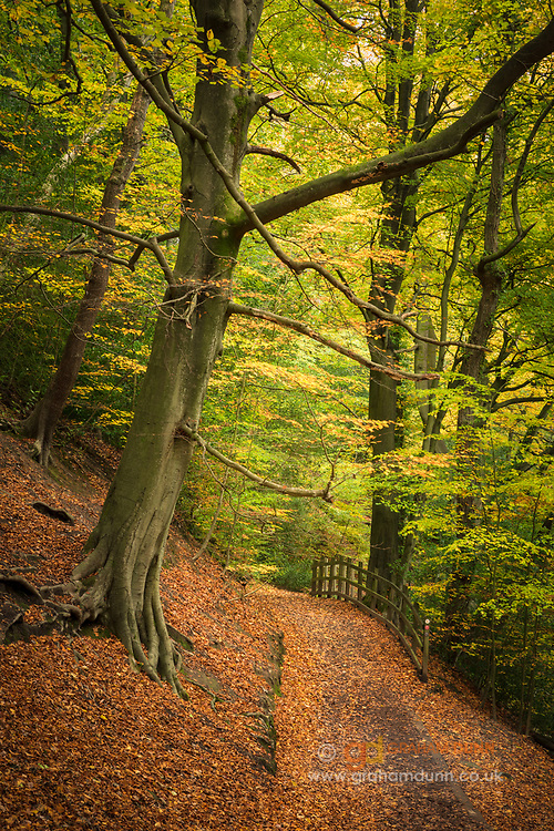 Orange leaves carpet the path thorugh the Limb Valley as autumn coloured trees arch overhead. A colourful, seasonal woodland scene in Sheffield, South Yorkshire, England, UK.