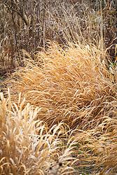 Hakonechloa macra 'Aureola' AGM in winter