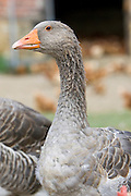 Toulouse Goose, Gascony, France. Free-range birds may be at risk if Avian Flu (Bird Flu Virus) spreads