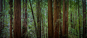 Muir Woods, California<br /> also available as a triptych