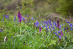 Early Purple Orchid and bluebells growing wild in Gloucestershire. Orchis mascula and Hyacinthoides non-scripta