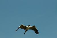 A Cocoi Heron (Ardea cocoi) flying through the clear blue sky in Delta Amacuro, Venezuela.