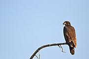 Golden eagle (Aquila chrysaetos)  in dead tree top<br />Lesser Slave Lake<br /><br />Canada