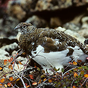 Rock Ptarmigan (Lagopus mutus) changing into it's winter white plumage,  standing on autumn-hued tundra during the fall season.
