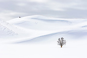 Lone Tree and bison n the Hayden Valley of Yellowstone National Park