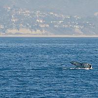 Gray Whale, Eschrichtius robustus, Eastern North Pacific Gray Whale, Dana Point, California
