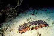 donkey dung sea cucumber, Holothuria mexicanus or Holothuria mexicana, Bahamas  ( Western Atlantic Ocean )
