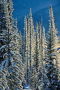 Coniferous trees along the Bow River at Castle Junction, Banff National Park, Alberta, Canada