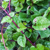 Malabar spinach (Basella rubra)
