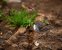 Chipping sparrow. Backyard spring nature in New Jersey. Image taken with a Nikon D4 camera and 500 mm f/4 lens (ISO 280, 500 mm, f/4, 1/500 sec).