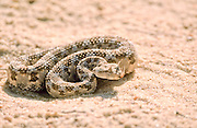Cerastes cerastes is a venomous viper species native to the deserts of Northern Africa and parts of the Middle East. They often are easily recognized by the presence of a pair of supraocular horns, although hornless individuals do occur. Common names include Saharan horned viper and horned desert viper. Photographed in Israel