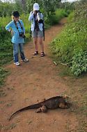 The Galapagos Land Iguana (Conolophus subcristatus), Baltra, Galapagos, Ecuador. Liisa & Mimmi Widstrand.