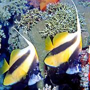 Red Sea Bannerfish inhabit reefs. Picture taken Red Sea..