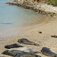 Elephant seals relax on a beach near Point Reyes Lifeboat Station, California.