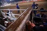 Italy, Voghera, Cowboys ranch: calf roping  .Cowboys show and contest.