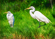 """Seabirds of Long Island Sound. Egrets. Size suitable for framing or canvas prints up to 13 x 16"""" or any website."""