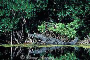 American or estuarine crocodile, Crocodylus acutus,<br /> in red mangroves, Rhizophora mangle, <br /> both of which are endangered, <br /> Key Largo, Florida