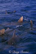 dorsal fins of gray reef sharks, Carcharhinus amblyrhynchos, break the surface, Bikini Atoll, Marshall Islands, Micronesia ( Central Pacific Ocean )