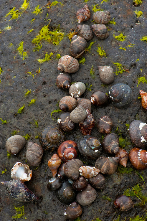 Different species of snails, Timanfaya National Park, Lanzarote Island, Canary Island, Spain.