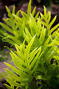 Lawai fern, Limahuli Garden and Preserve, Haena, Kauai, Hawaii