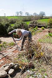 Carol Klein digging up dead Eryngium pandanifolium