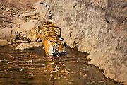 A Bengal tiger snarls (Panthera tigris tigris) as it walks into a water hole, Ranthambhore National Park, Rajasthan, India,