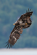 An immature Bald Eagle (Haliaeetus leucocephalus) flies at Big Beef Creek near the Hood Canal of Puget Sound, Washington, USA