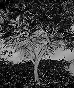Tree, Kauai, Hawaii