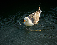 Western Gull (Larus occidentalis). Fisherman's Warf, San Francisco, California. Image taken with a Nikon D300 camera and 18-200 mm VR lens.