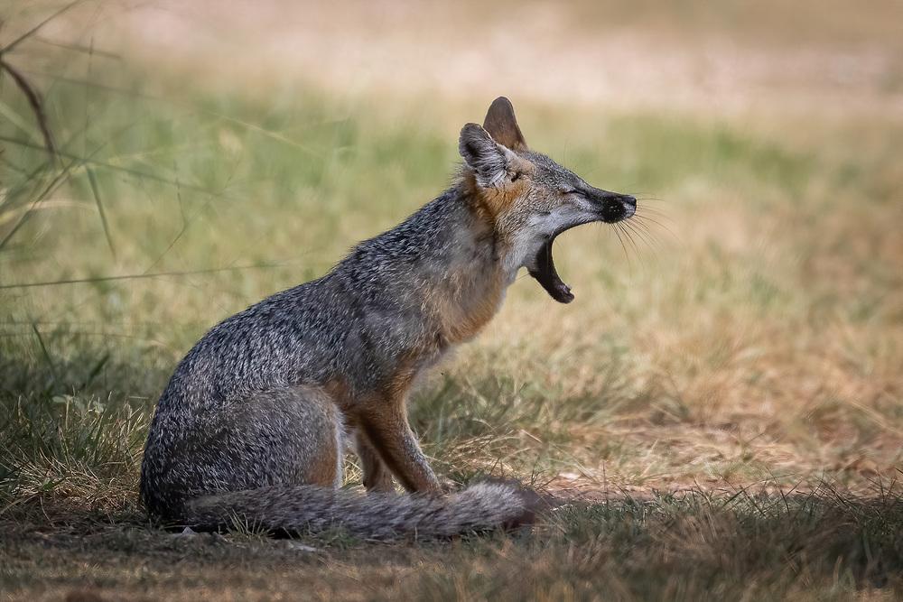 Urocyon cinereoargenteus, Theile Ranch, Gillespie County, Central Texas, July 2020