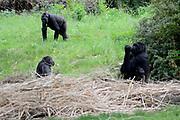 Apenheul is een gespecialiseerde dierentuin aan de rand van de Nederlandse stad Apeldoorn. De tuin ligt midden in het natuurpark Berg & Bos (200 ha). In Apenheul leven apen uit Afrika, Zuid-Amerika en Azië. De dieren leven er heel vrij: gaas of tralies ziet men er bijna niet. Sommige soorten lopen zomaar tussen de bezoekers rond. <br /> <br /> Op de foto:  Laaglandgorilla