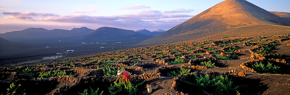 SPAIN, CANARY ISLANDS, LANZAROTE La Geria vineyard; vines dug in volcanic ash