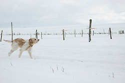 Dog running in snowy landscape in winter, Bavaria, Germany