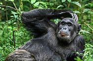 Ein männlicher Schimpanse (Pan troglodytes) liegt entspannt auf dem Waldboden, Kibale Forest, Uganda<br /> <br /> A male chimpanzee (Pan troglodytes) lies relaxed on the forest floor, Kibale Forest, Uganda