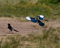 Black-billed Magpie (Pica hudsonia). Moraine Park. Rocky Mountain National Park, Colorado.Image taken with a Nikon D2xs camera and 80-400 mm VR lens.