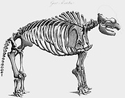 Skeleton of Giant Mastodon excavated by Wilson Peale of Philadelphia at Newburgh on the Hudson, 1801. From Cuvier 'The Animal Kingdom', London 1830. Engraving.