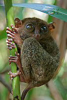 The Philippine Tarsier - Tarsius syrichta or Carlito syrichta) - known locally as the Maumag in Cebuano Visayan and Mamag in Luzon, is an endangered species of tarsier endemic to the Philippines.  It is found in the southeastern part of the archipelago, particularly in Bohol.  The tarsier was only introduced to Western biologists in the 18th century.[