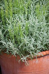 Santolina chamaecyparissus syn. S. incana - Cotton lavender