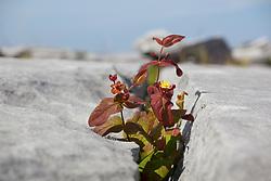 Tutsan (Hypericum androsaemum) growing amongst cracks in limestone rocks at the Burren, Ireland