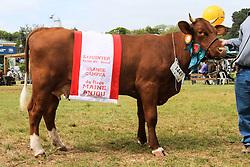 Grande Campeã da raça Maine Anjou da 38ª Expointer, que ocorrerá entre 29 de agosto e 06 de setembro de 2015 no Parque de Exposições Assis Brasil, em Esteio. FOTO:Vilmar da Rosa/ Agência Preview