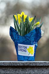 Boston Marathon: BAA 5K road race Boston Strong, traditiontal daffodils line race course