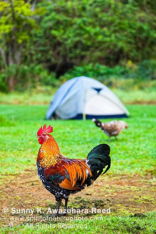 Tent camping among wild chickens. Koke'e State Park Campground, Kauai, Hawaii. Vertical image.