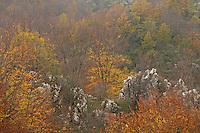 Common beech forest (Fagus sylvatica) near Madonna di Pollino, Basilicata/Calabria, Pollino National Park, Italy. November 2008. Mission: Pollino National Park