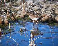 Killdeer (Charadrius vociferus). Alamosa National Wildlife Refuge, Colorado. Image taken with a Nikon D300  camera and 80-400 mm VR lens